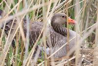 Greylag goose sitting on a nest