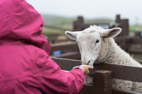 Little girl feeding sheep in on the farm