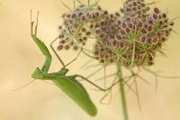Europaeische Gottesanbeterin (Mantis religiosa)