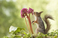 red squirrel is smelling a Bergenia