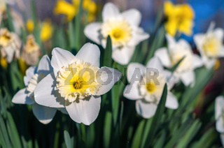 Daffodils flower in the morning sunlight. White daffodil (Narcissus)on green background. A spring.