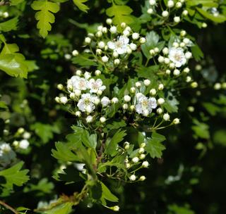 White flower of midland hawthorn, English hawthorn (Crataegus laevigata) blooming in spring