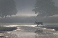 Rothirsch durchquert einen Fluss