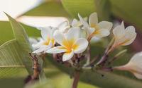 white plumeria flower in nature garden