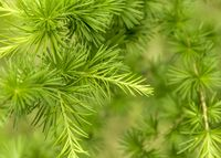 green larch twigs