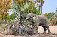 Elefant mit Palme im Liwonde Nationalpark, Malawi, (Loxodonta africana) | elephant with a plam at Liwonde National Park, Malawi, (Loxodonta africana)