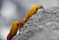 Krallen der Rote Klippenkrabbe (Grapsus grapsus), Insel Floreana, Galapagos Inseln, Ecuador