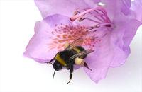 Erdhummel, Bombus, terrestris, Pollenhoeschen
