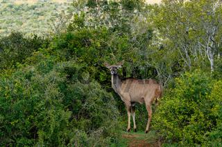 Kudu surrounded with bushes