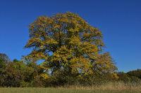 Berg-Ahorn in Herbstfaerbung, Acer pseudoplatanus,