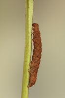 Gelblinien-Spannereule (Trisateles emortualis)