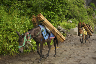 Mules caring luggage in a mountain area