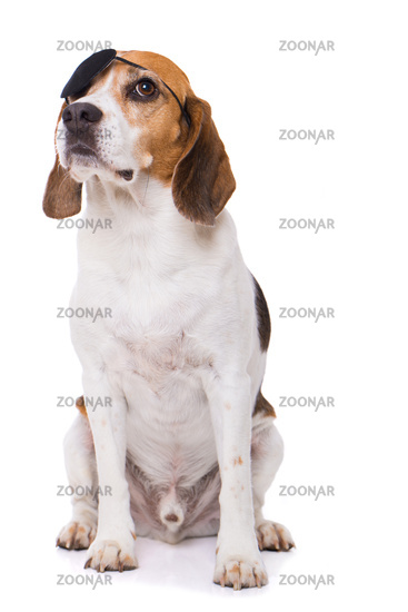 Adult beagle dog sitting isolated on white background