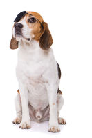 Adult beagle dog sitting isolated on white background
