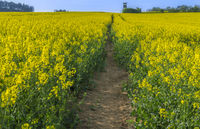 Pathway through a blooming rapeseed field