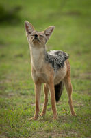 Black-backed jackal stands with both eyes closed