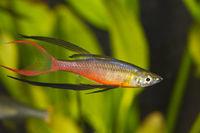 Portrait of aquarium fish - Threadfin rainbowfish (Iriatherina werneri) in a aquarium