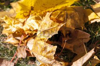 The fallen maple leaves