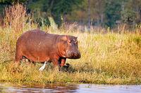 Flusspferd, Liwonde Nationalpark, Malawi, (Hippopotamus amphibius) | Hippo, Liwonde National Park, Malawi, (Hippopotamus amphibius)