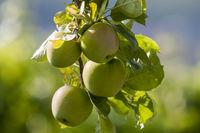Äpfel (Malus) am Baum