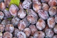 European plums