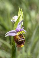 Blüte der Hummel-Ragwurz (Ophrys fuciflora)