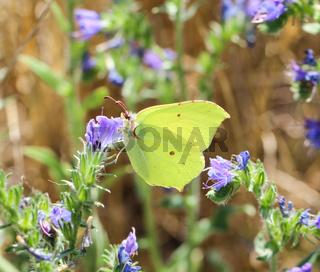 Schmetterlings Insekt in der Natur. Naturinsektenschmetterling auf einer Blume, Pflanze.