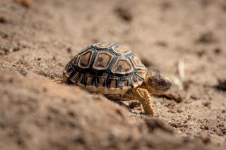 Baby leopard tortoise walks down sandy slope