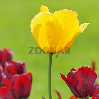 Gelbe Blüte einer Tulpe zwischen lila Tulpenblüten