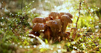 Armillaria Mushrooms of honey agaric In a Sunny forest in the rain.
