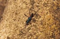 Cockroach wasps or Jewel Wasp, Ampulex, Ampulicidae, Aarey milk colony Mumbai , India