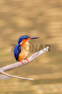 bird kingfisher, madagascar wildlife