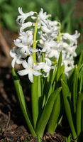 Common Hyacinth, Hyacinthus orientalis