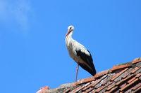 Weißstorch auf dem Dachfirst