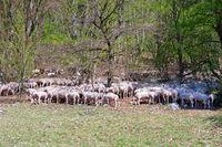 Herd of grazing sheep