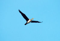 Single flying large cormorant. Whitish bottom of body