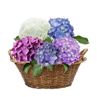 hydrangea flowers in a basket