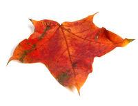 Autumn red maple leaf
