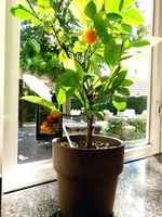 Potted orange plant near a window in a home, healthy fruit