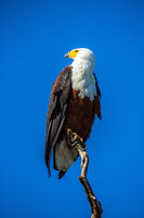African Fish Eagle on a dry tree