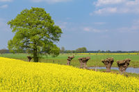 Dutch spring  landscape with rapeseed willows and tree