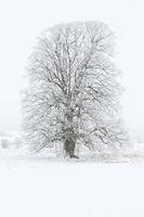 Baum im Nebel mit Raureif bedeckt