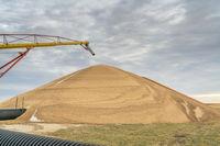 pile of sorghum grain drying in Kansas
