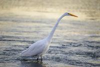 Great Heron wading and fishing.