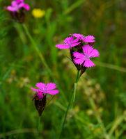 Kartäusernelke, Dianthus carthusianorum, Carthusian pink