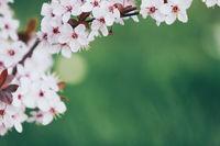 beautiful blooming cherry tree branch