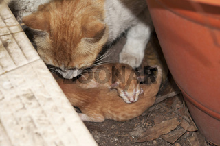 Female cat with new born kittens, India