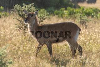 Backlit female waterbuck crosses savannah in sunshine