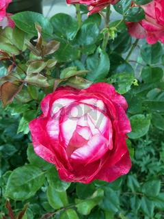 Gartenrose mit den roten und weißen Blüten