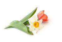 Tulpe und Narzisse liegen auf weißem Hintergrund